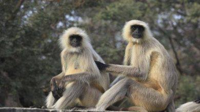 Photo of आवारा मवेशियों, बंदरों व बरहों से किसान परेशान